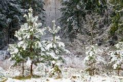 Árboles de navidad en bosque temprano del tiempo de primavera Fotos de archivo libres de regalías