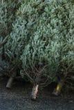 Árboles de navidad hermosos para la venta Foto de archivo libre de regalías