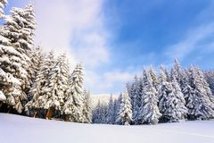 Árboles de navidad mullidos fantásticos en la nieve Postal con los árboles altos, el cielo azul y la nieve acumulada por la venti imagen de archivo libre de regalías