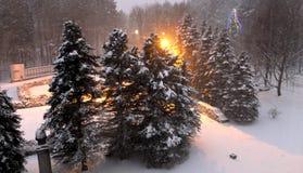 Árboles de navidad nevados fotografía de archivo libre de regalías