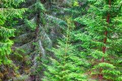 Árboles de navidad verdes Imagen de archivo libre de regalías