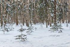 Árboles de navidad verdes debajo de la nieve contra la perspectiva de un claro del bosque y de un cielo azul Fotos de archivo