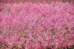 Árboles de nectarina rosados Foto de archivo libre de regalías