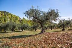 Árboles de Oliven fotografía de archivo libre de regalías