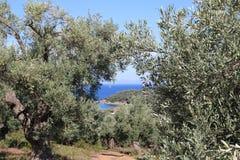 Árboles de Oliverio en Grecia Fotografía de archivo