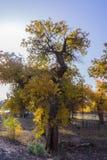 Árboles de oro Fotos de archivo