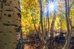 Árboles de oro del álamo temblón en la caída Fotos de archivo libres de regalías