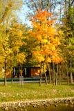 Árboles de oro del otoño Fotos de archivo