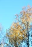Árboles de oro del otoño Imagenes de archivo