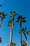 Árboles de palmas Foto de archivo