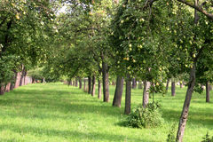Árboles de pera Fotos de archivo