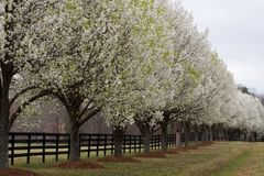 Árboles de pera de Bradford en la floración Foto de archivo libre de regalías