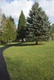 Árboles de pino, árbol de hoja perenne. Foto de archivo