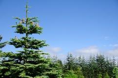 Árboles de pino Fotografía de archivo libre de regalías