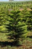 Árboles de pino. Fotos de archivo