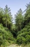 Árboles de pino Imagenes de archivo