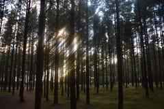 Árboles de pino Imágenes de archivo libres de regalías