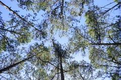 Árboles de pino Foto de archivo libre de regalías