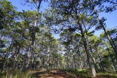 Árboles de pino Fotos de archivo libres de regalías