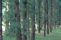 Árboles de pino Fotos de archivo
