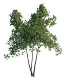 Árboles de pino aislados en blanco Fotografía de archivo libre de regalías