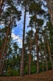 Árboles de pino altos Fotos de archivo libres de regalías