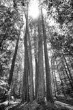 Árboles de pino altos en la sol Fotos de archivo libres de regalías