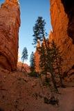 Árboles de pino altos en una barranca profunda Foto de archivo