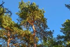 Árboles de pino altos hermosos Visión inferior Día soleado del verano en el bosque Fotos de archivo