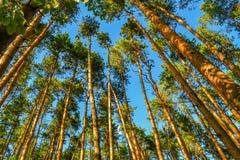 Árboles de pino altos hermosos Visión inferior Día soleado del verano en el bosque Fotografía de archivo
