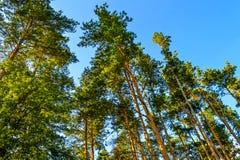 Árboles de pino altos hermosos Visión inferior Día soleado del verano en el bosque Fotos de archivo libres de regalías
