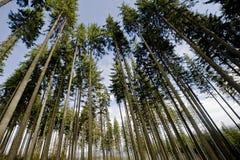 Árboles de pino anchos Foto de archivo libre de regalías