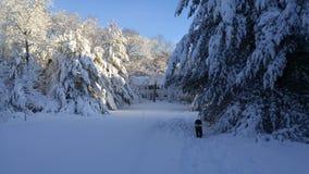 Árboles de pino bajo carga de la nieve después de la tormenta en Nueva Inglaterra Imagenes de archivo