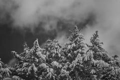 Árboles de pino capsulados nieve en blanco y negro Fotos de archivo libres de regalías