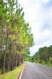 Árboles de pino con el camino Imágenes de archivo libres de regalías