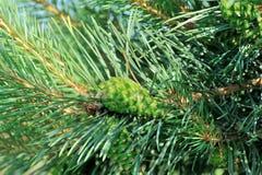 Árboles de pino con los conos frescos del pino y las agujas verdes del pino Fotos de archivo
