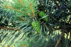 Árboles de pino con los conos frescos del pino y las agujas verdes del pino Fotografía de archivo libre de regalías