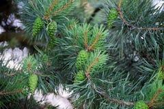 Árboles de pino con los conos frescos del pino y las agujas verdes del pino Imagenes de archivo