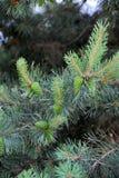 Árboles de pino con los conos frescos del pino y las agujas verdes del pino Imágenes de archivo libres de regalías