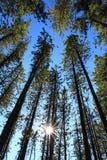 Árboles de pino con Sun Imagen de archivo libre de regalías