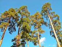 Árboles de pino contra el cielo Fotos de archivo libres de regalías