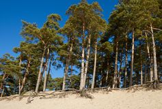 Árboles de pino crecientes Imágenes de archivo libres de regalías