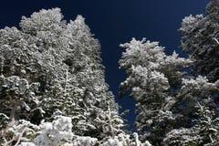 Árboles de pino cubiertos con nieve después de una tormenta Fotografía de archivo