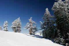 Árboles de pino cubiertos con nieve después de una tormenta Fotos de archivo libres de regalías