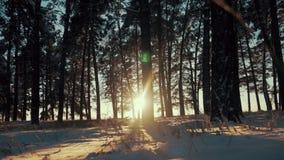 Árboles de pino cubiertos con nieve en día escarchado Paisaje fantástico del invierno Sun en la madera entre las tensiones de los almacen de metraje de vídeo