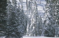 Árboles de pino cubiertos en nieve, Fotografía de archivo