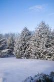 Árboles de pino cubiertos en nieve Imagenes de archivo