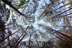 Árboles de pino de debajo Foto de archivo