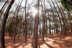 Árboles de pino de debajo y luz del sol Foto de archivo