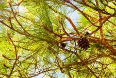 Árboles de pino de echada con los conos frescos del pino y las agujas verdes del pino Fotos de archivo